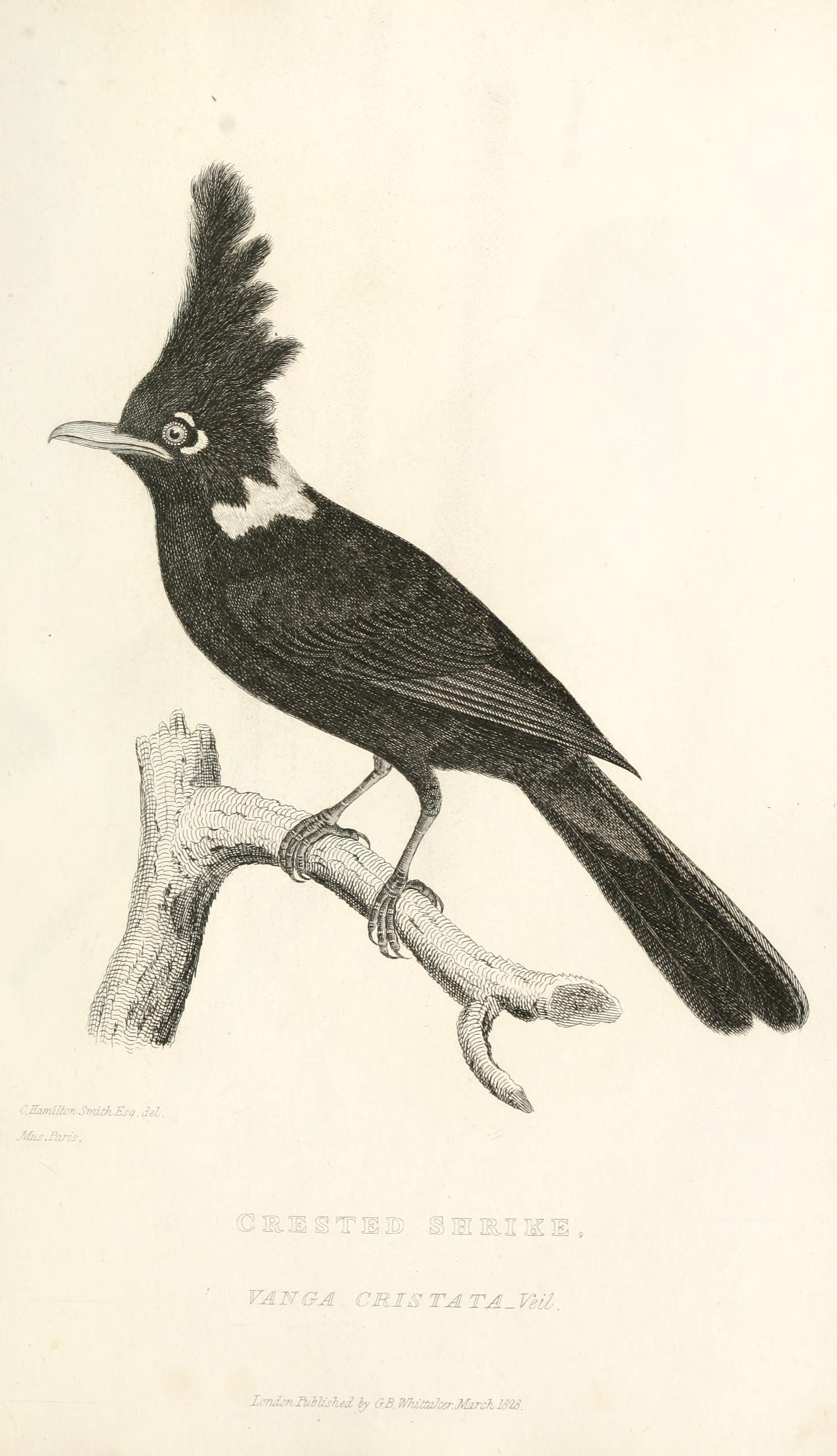 http://www.corvids.de/cld/images/Type_Platylophus_galericulatus-Vanga_cristata.jpg
